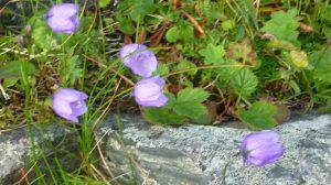 Blumen am Slettnes Fyr
